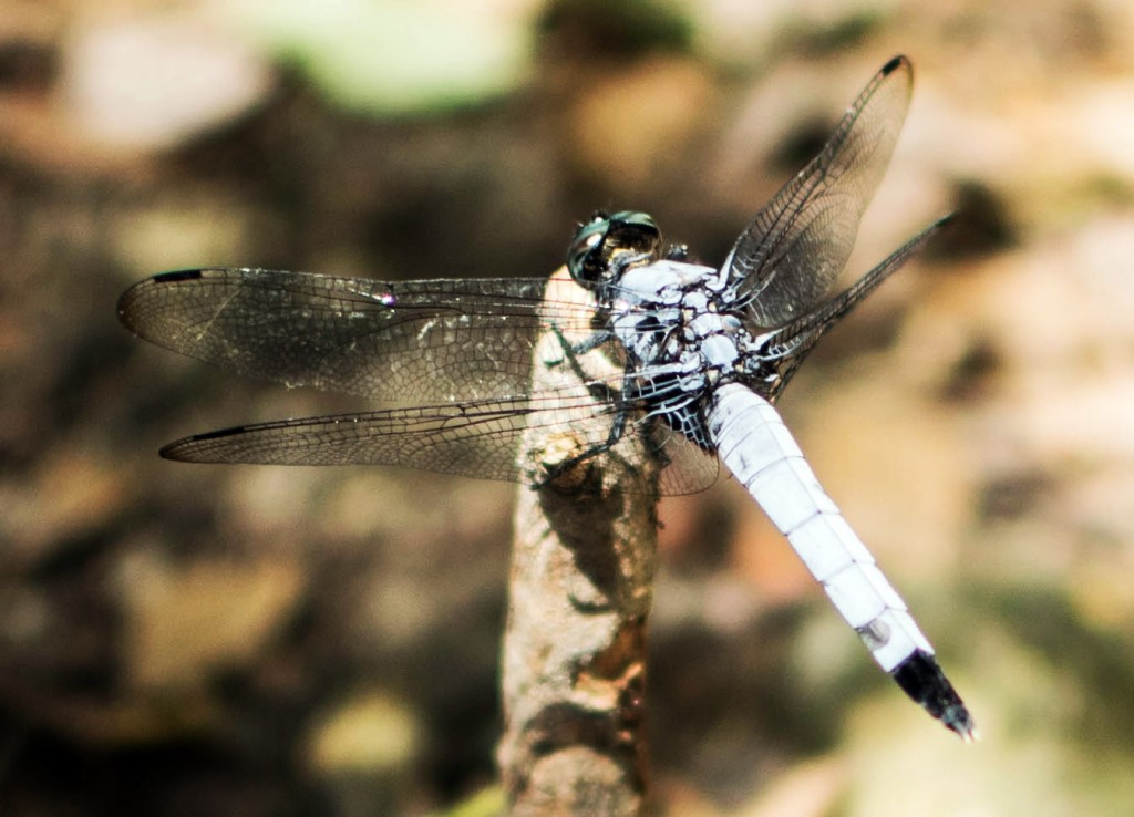 Resting Dragonfly Satish Chandra Satyarthi