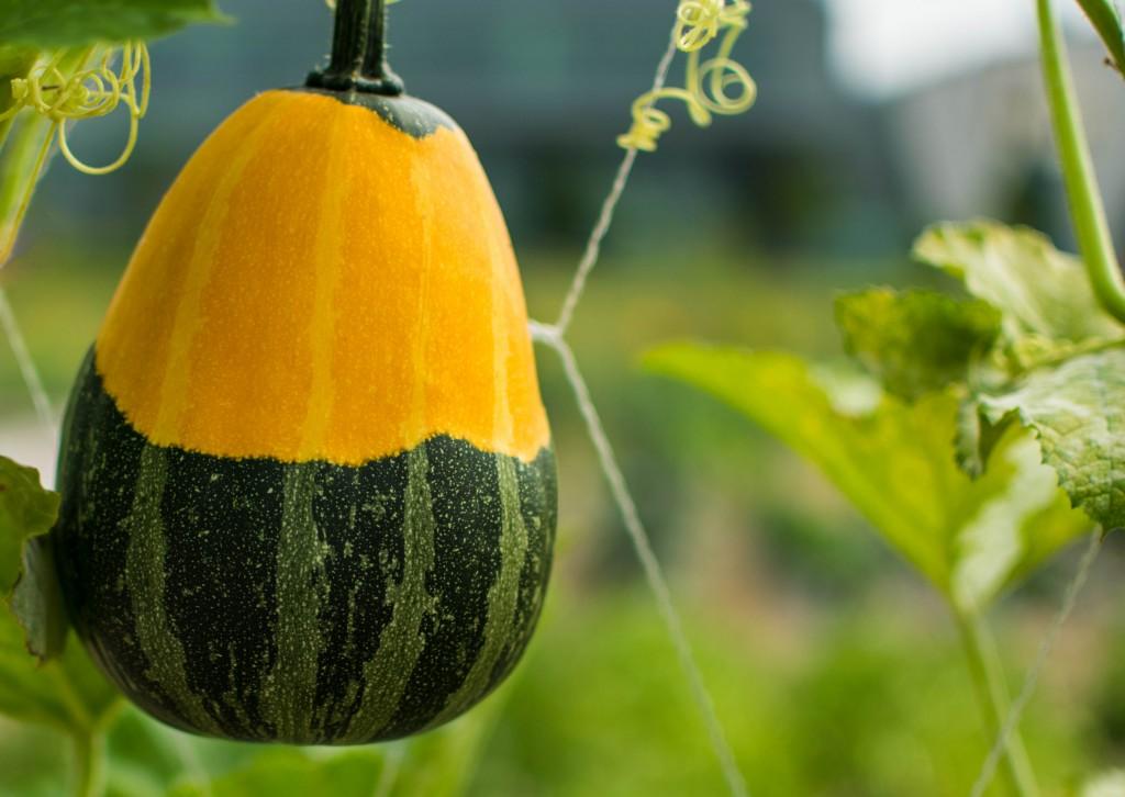 Multicolor Pumpkin